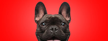 French Bulldog Dog Full Of Joy...