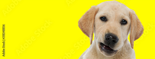 Photographie labrador retriever dog with brown fur making faces at camera