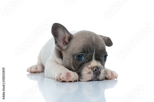 Fototapeta Dutiful French bulldog puppy resting and looking away