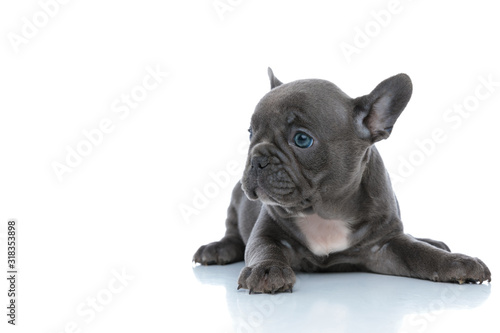 obraz PCV Cute French bulldog cub looking away and resting