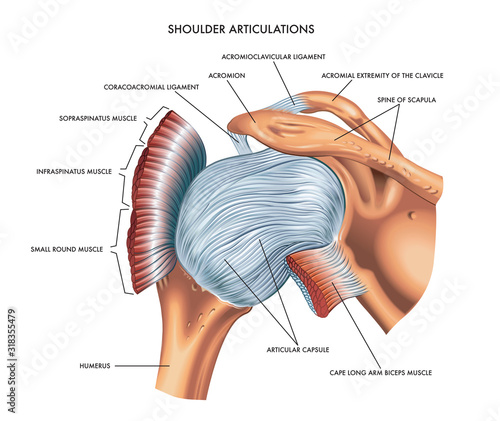 A detailed medical illustration of shoulder articulations. Wallpaper Mural