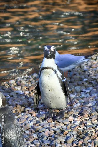 Vászonkép WROCLAW, POLAND - JANUARY 21, 2020: Penguins (Sphenisciformes, family Spheniscidae) are a group of aquatic flightless birds