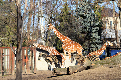 WROCLAW, POLAND - JANUARY 21, 2020: The giraffe (Giraffa) is an African artiodactyl mammal, the tallest living terrestrial animal and the largest ruminant Wallpaper Mural