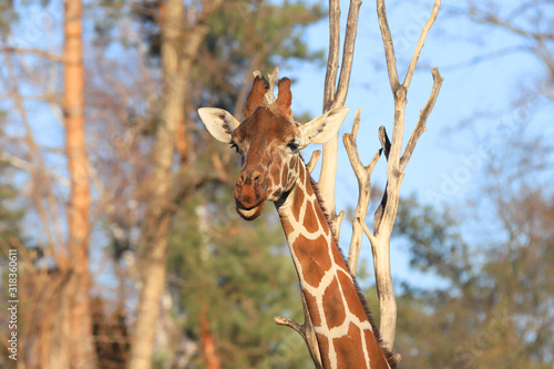 WROCLAW, POLAND - JANUARY 21, 2020: The giraffe (Giraffa) is an African artiodactyl mammal, the tallest living terrestrial animal and the largest ruminant Canvas Print