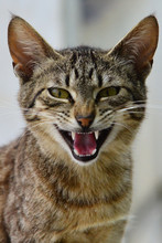 CLOSE-UP PORTRAIT OF CAT Meowing