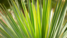 Tropical Plant Yucca Leaves.