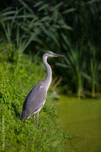 Photo Grey heron, Ardea cinerea