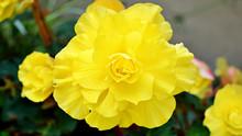 Begonia Flower. Yellow Begonia