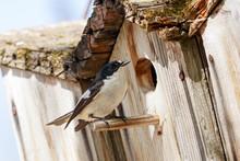 European Pied Flycatcher Ficedula Hypoleuca Male Sitting Near Hole Of Birdhouse. Cute Bright Forest Songbird On Nesting Box In Wildlife.