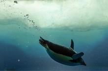 Full Length Of Penguin Swimming In Sea