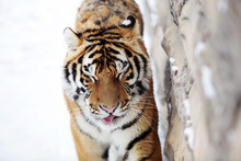 Close-Up Of Tiger By Wall