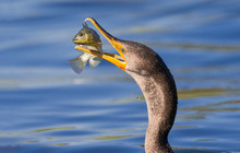 CLOSE-UP OF Cormorant Catching...