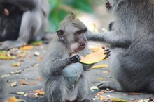 Close-Up Of Japanese Macaque I...