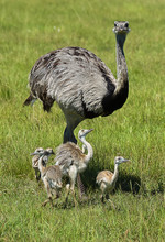 Freely Roaming Rhea Mother With 4 Young Chicks Posing In Grass