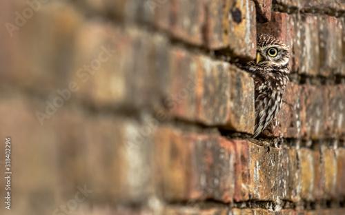 Fotomural ALERT OWL HIDING OUTDOORS