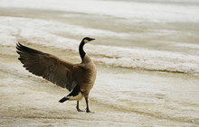 Close-Up Of Canadian Goose With Spread Wings Perching On Shore At Beach