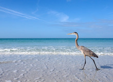 Great Blue Heron (Ardea Herodias) Walking In Shallow Surf And A Take Off Sequence On St. Pete Beach, Florida.