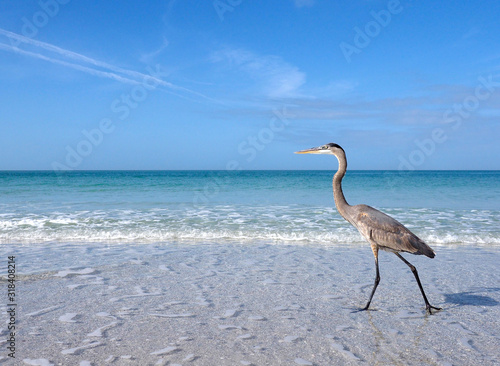Photo Great Blue Heron (Ardea herodias) walking in shallow surf and a take off sequence on St