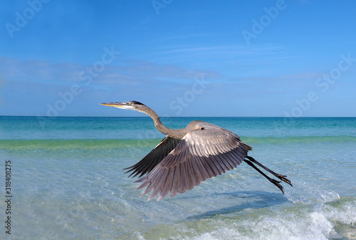 Great Blue Heron (Ardea herodias) walking in shallow surf and a take off sequence on St Canvas Print