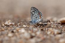 Bernardino Blue (Euphilotes B. Bernardino)
