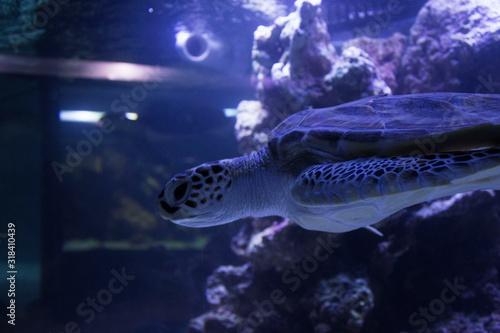Fototapeta Close-Up Of Turtle Swimming In Aquarium obraz na płótnie