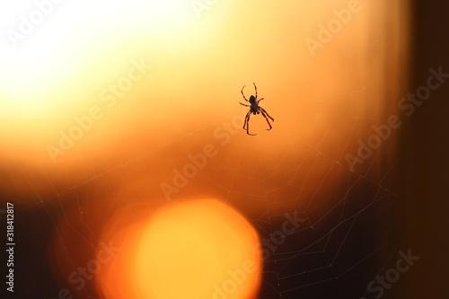 CLOSE-UP OF SPIDER ON WEB Fototapet