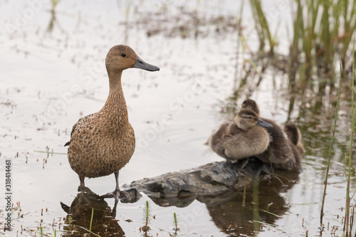 A pintail duck female stands in a shallow pond, three ducklings are sitting in t Wallpaper Mural