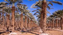 Rows Of Palm Trees On A Tree F...