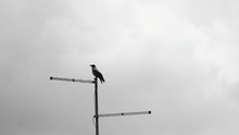 Silhouette Raven Perching On T...