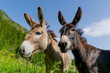 Low Angle View Of Donkeys Against Green Mountains