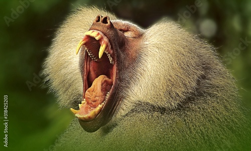 CLOSE-UP OF a baboon yawning Canvas Print