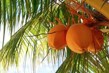 Orange Coconuts On A Palm Tree...
