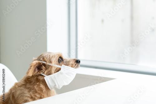 マスクをしたノーフォークテリア犬 Canvas Print