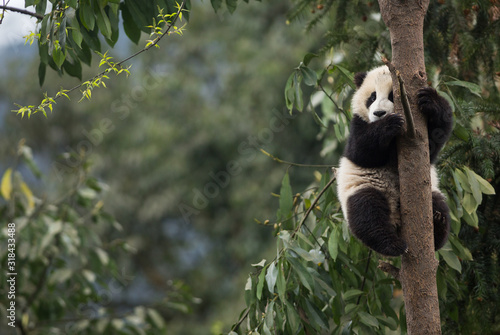 Giant panda, Ailuropoda melanoleuca, approximately 6-8 months old, clutching on to a tree high above the ground Tablou Canvas