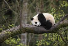 Giant Panda, Ailuropoda Melano...
