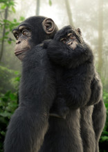 Chimpanzee Mother Carrying Her...