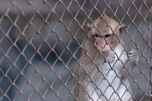 Small Monkey In The Cage Behind The Fence