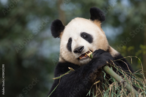 Portrait of a giant panda, Ailuropoda melanoleuca, eating bamboo. Canvas-taulu