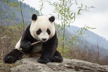 Giant Panda, Ailuropoda Melanoleuca, Sitting Upright On Rock In The Mountains, Eating Bamboo.