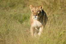 Portrait Of Lion On Field