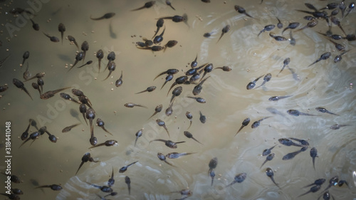 Fotografie, Obraz High Angle View Of Tadpoles Swimming In Pond