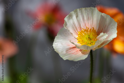 Photo Cream poppy against a muted background.
