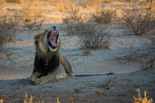 Lion Yawning While Sitting On Field