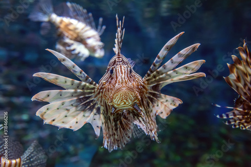Fotografia Beautiful lion fish hovering in mid water hunting for small prey in blue water