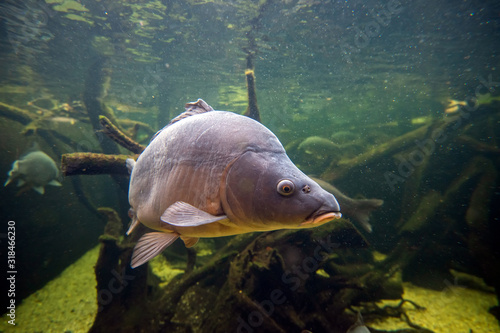 Freshwater fish carp (Cyprinus carpio) in the pond Canvas Print