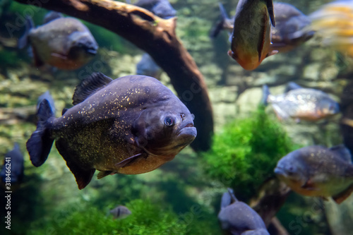 Piranha fishes in a natural environment Canvas-taulu