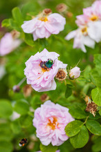 Rose Chafer On The Pink Roses