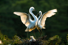 CLOSE-UP OF Great Egret Family In Nest