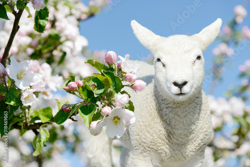 Cute white small sheep lamb standing between blooming apple tree blossoms Canvas Print