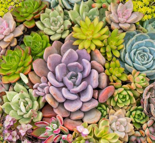Fototapeta Rectangular arrangement of succulents; cactus succulents in a planter obraz